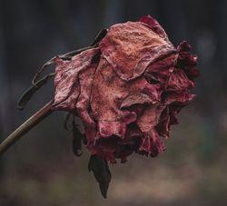 Роза присуха